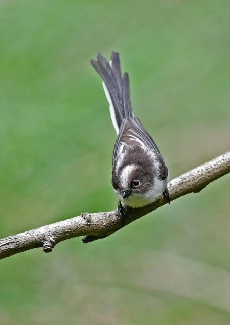 エナガ幼鳥1 DSM_1022