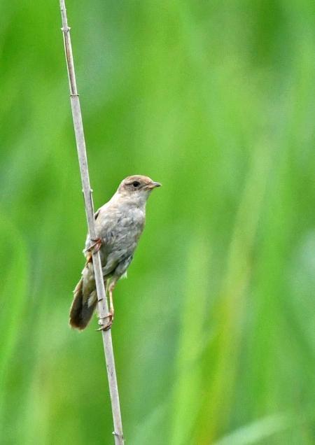 コヨシキリ1幼鳥 DSO_4061