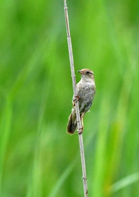 コヨシキリ2幼鳥 DSO_4058