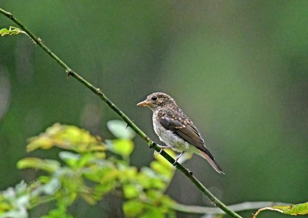 キビタキ幼鳥1 DSP_5650