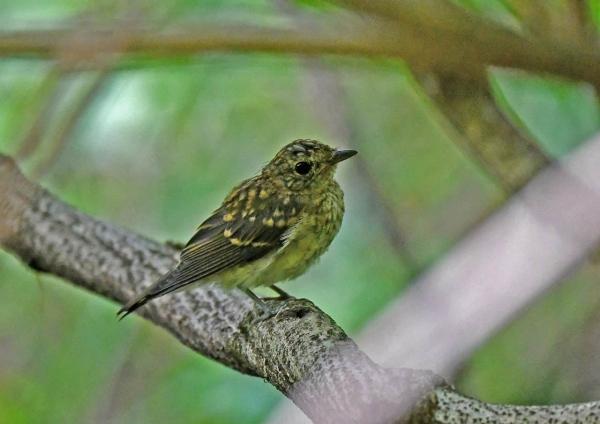 キビタキ幼鳥2 DSP_4166