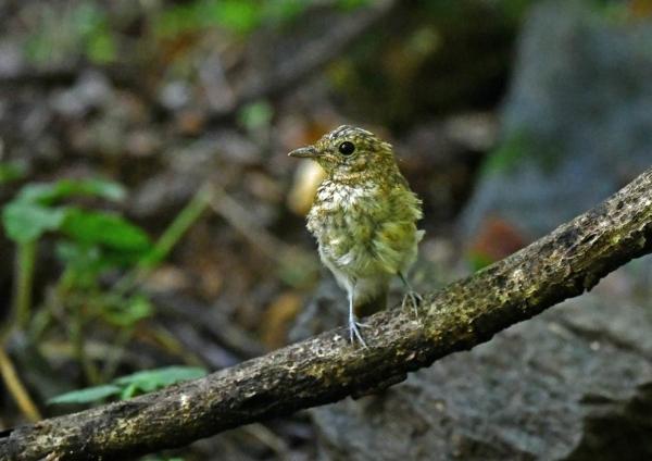 キビタキ幼鳥3 DSP_4193