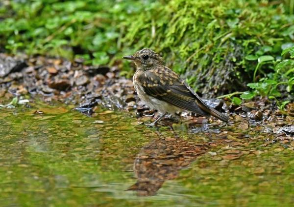 キビタキ幼鳥4水浴び DSP_4213