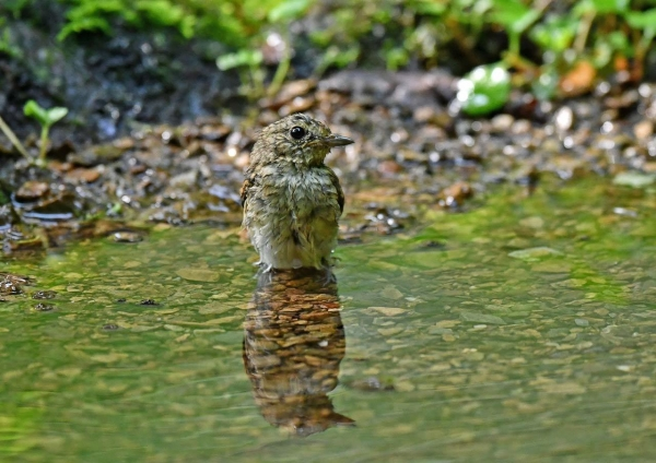キビタキ幼鳥5水浴び DSP_4249