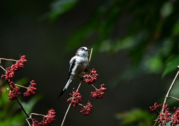 エナガ幼鳥1 DSP_3640