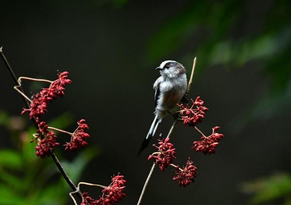エナガ幼鳥2 DSP_3644