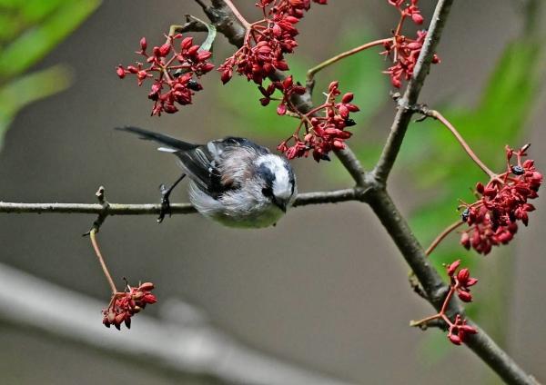 エナガ幼鳥3 DSP_3609