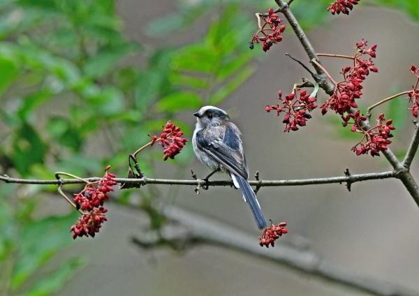 エナガ幼鳥4 DSP_3542