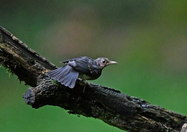 クロツグミ幼鳥3 DSP_5968