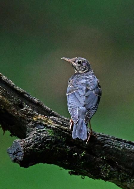 クロツグミ幼鳥1 DSP_5955