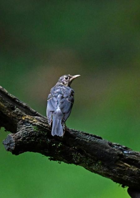 クロツグミ幼鳥3 DSP_5965