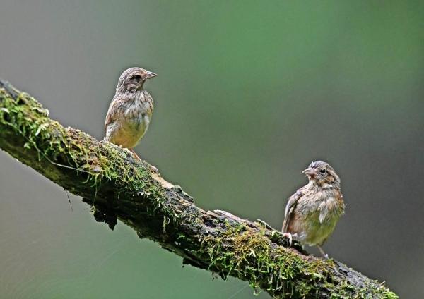 ホオジロ幼鳥1 DSP_9638