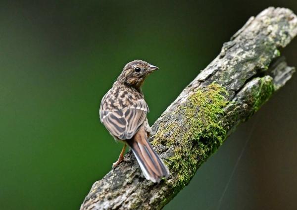 ホオジロ幼鳥2 DSP_4711