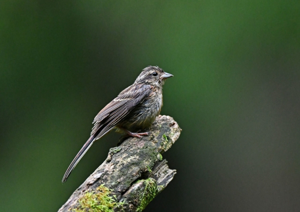 ホオジロ幼鳥3 DSP_9589