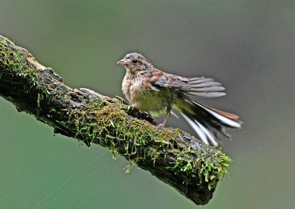 ホオジロ幼鳥4 DSP_9628