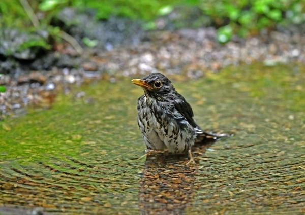 クロツグミ雌水浴び1 DSP_4461