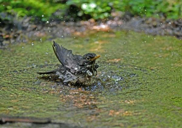 クロツグミ雌水浴び3 DSP_1407