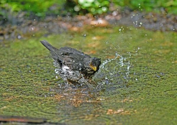 クロツグミ雌水浴び4 DSP_1338
