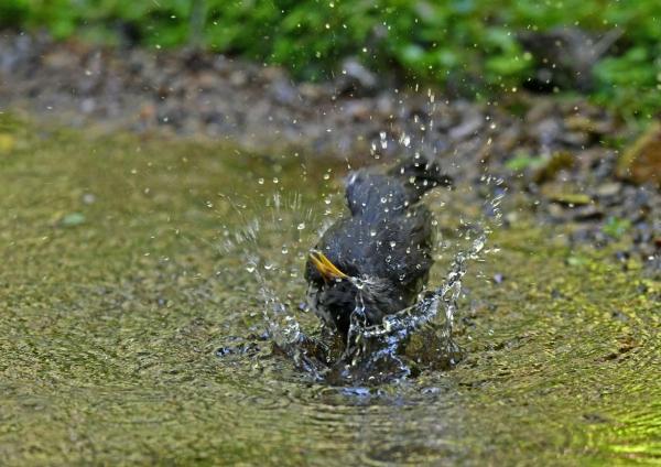クロツグミ雌水浴び5 DSP_0658
