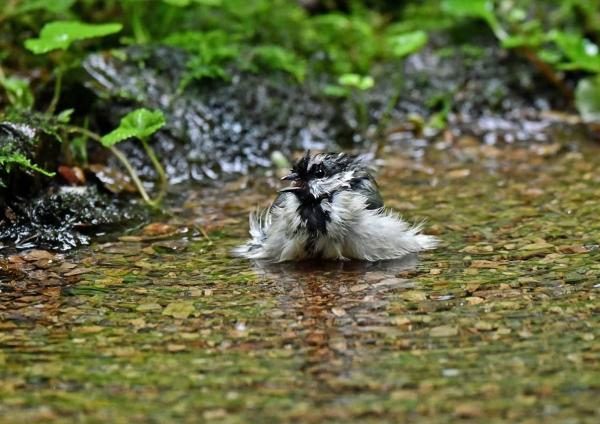 シジュカラ1水浴びDSP_5391