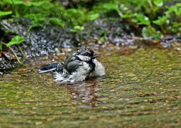 シジュカラ2水浴び DSP_5399