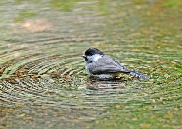 コガラ水浴び1 DSP_8716