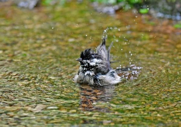 コガラ水浴び2 DSP_8747