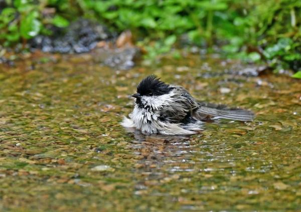 コガラ水浴び3 DSP_9081