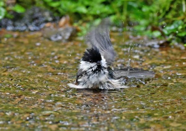 コガラ水浴び4 DSP_9086