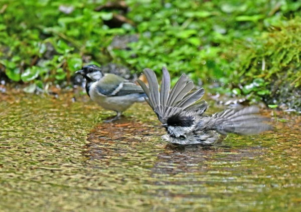 コガラ水浴び5 DSP_8681
