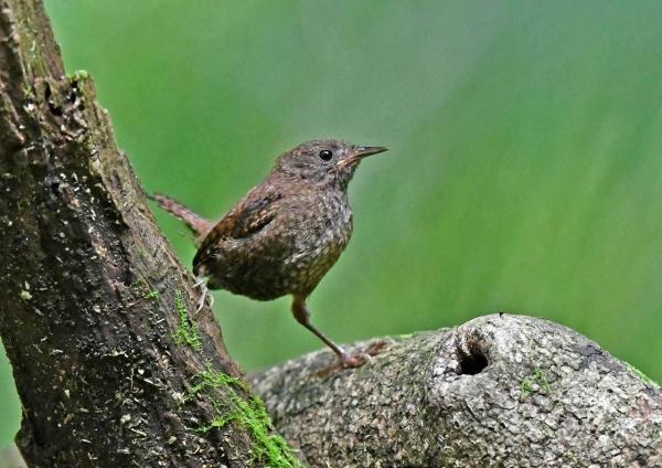 ミソサザイ幼鳥1 DSP_8111
