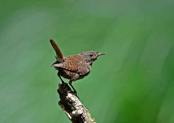 ミソサザイ幼鳥3 DSP_2995