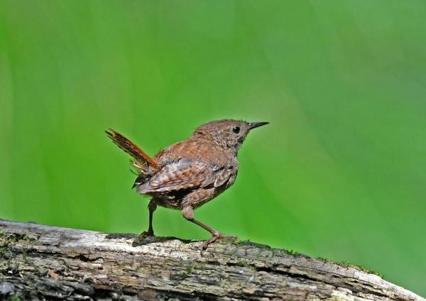 ミソサザイ幼鳥4 DSP_8799