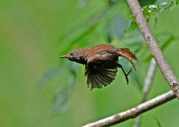 ミソサザイ幼鳥5 DSP_8130