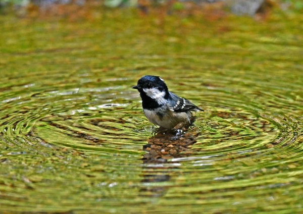ヒガラ水浴び1 DSP_8547