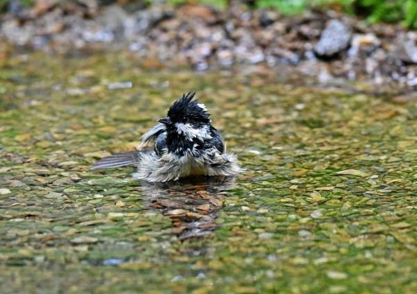 ヒガラ水浴び3 DSP_2044
