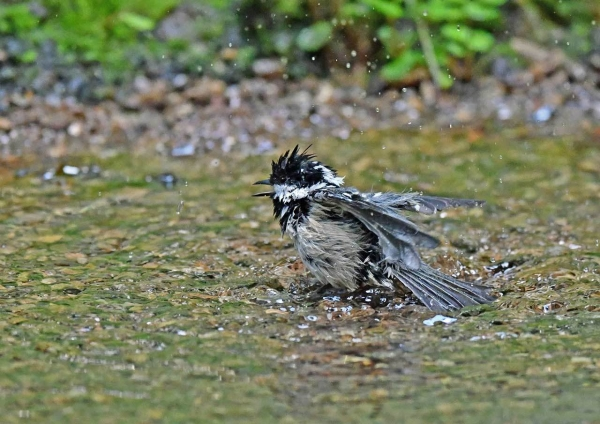 ヒガラ水浴び4 DSP_2181