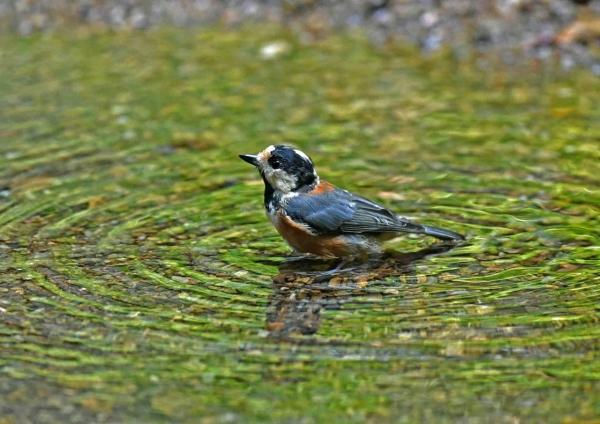 ヤマガラ水浴び1 DSO_9815