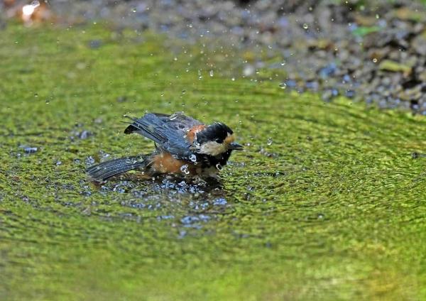ヤマガラ水浴び2 DSP_3130
