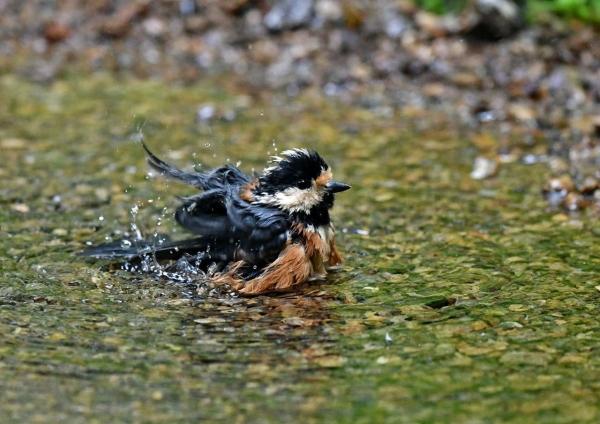 ヤマガラ水浴び3 DSP_3351