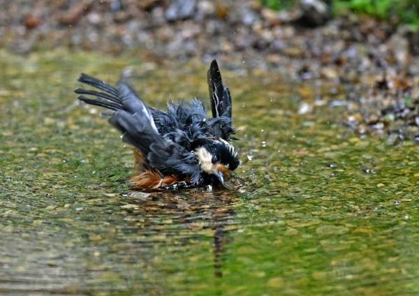 ヤマガラ水浴び4 DSP_3328