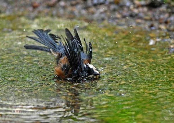 ヤマガラ水浴び5 DSP_3271
