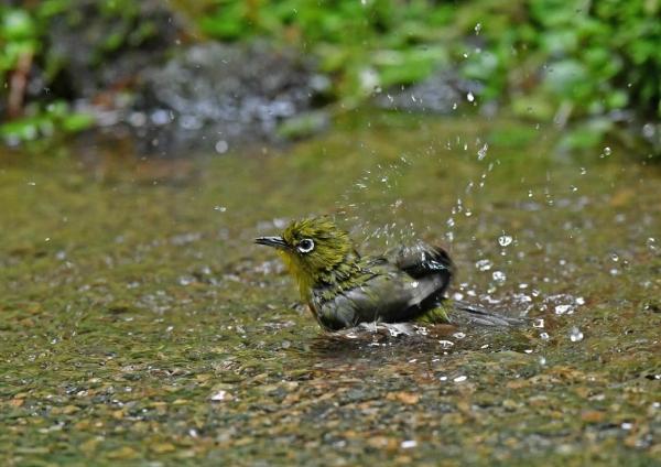 メジロ水浴び1 DSO_6543