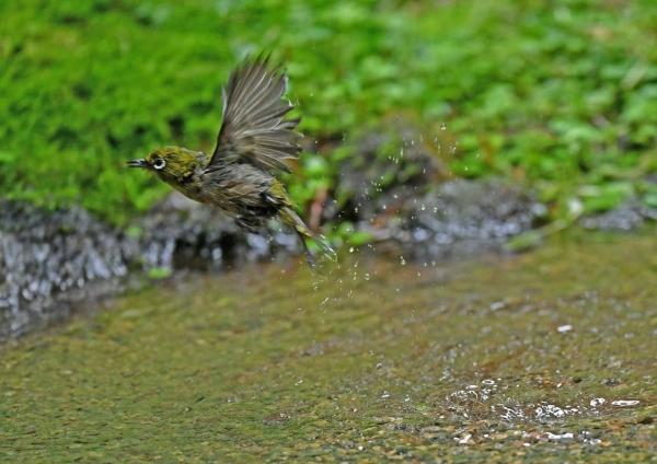 メジロ水浴び2 DSO_6546