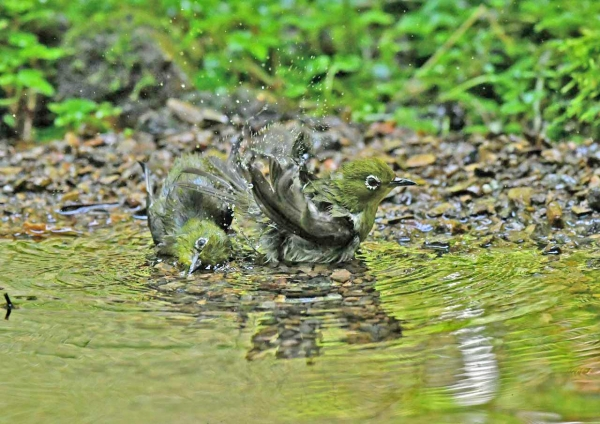 メジロ水浴び3 DSO_8183