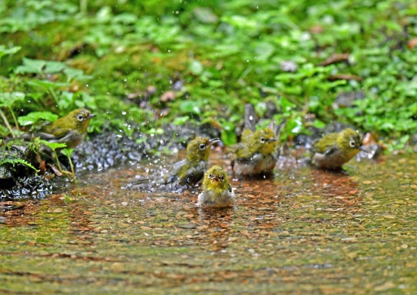 メジロ水浴び5 DSP_9258