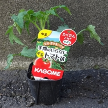 中玉トマト 手間のいらないトマト