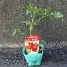 中玉トマト スイートトマト