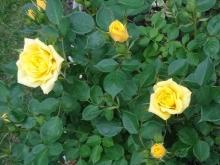 6.4ミニバラ黄色