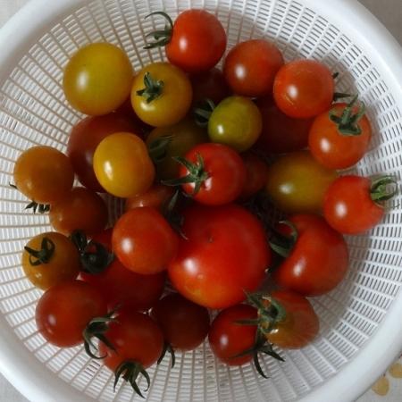 8月6日収穫トマト